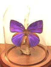 Hercules Oak Blue Butterfly Dome  (Arhopala hercules)