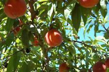 Belle of Georgia Peach Tree - Semi Dwarf - Healthy - 1 Gallon Pot - 1 Plant