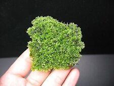 Mini pellia / coral moss - Riccardia chamedryfolia pad - Aquarium Live Plants