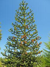 MONKEY PUZZLE TREE SAPLINGS (araucaria araucana)