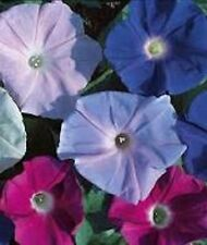 TALL MIXED MORNING GLORY✿100 Seeds✿Large Flowers✿6-10 Ft Tall Vines✿Colorful