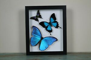 Morpho and Ulysses Swirl of Butterflies