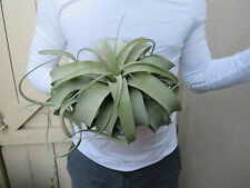 Tillandsia Xerographica Air Plant large