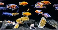"""5 Mixed Peacock Cichlid (2"""") Live Fish 2Day Fedex Shipping"""