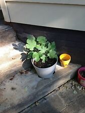 1-BROWN TURKEY FIG TREE STARTER PLANT SWEET EATING