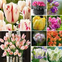 100Pcs Rare Rainbow Tulip Flower Bulbs Seeds Perennials Plant Decoration Bump