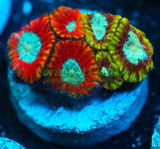 New listing Cornbred's Dueling Dragons Favia - Frag - Live Coral