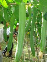 suakwa seed vegetable sponge cucumber Towel gourd luffa balcony Bonsai yard