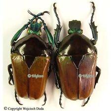 Neptunides polychrous form?- pair, nice