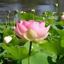 Nelumbo Nucifera - 6 Seeds - Sacred Lotus Flower