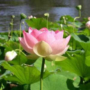 Nelumbo Nucifera - 6 Seeds - Sacred Lotus Flower