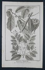 Histoire naturelle ORIG grabado 1760 cacao cacao cocoa Canela Canela Canelle
