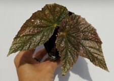 Rare Angel Wing Begonia Plant Maurice Amey Starter Plant