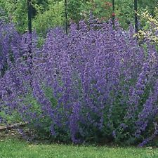 6  Nepeta Six Hills Giant  Catmint  Perennial  Plug plants