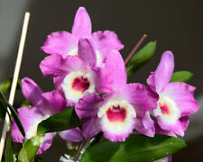 Orchid Dendrobium Nobile Country Girl Warabeuta 23, new growth, 10�