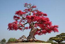 Schotia Afra - Karoo Boer Bean - Rare Tropical Plant Bonsai Tree Seeds (5)