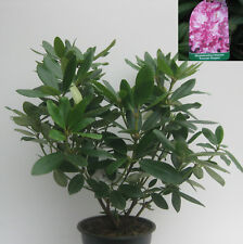 Rhododendron Roseum Elegans (rosa) ca40cm hoch buschig gewachsen im 4l Topf