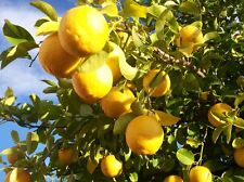 Lemon tree(10 seeds) fresh this season's harvest {great for lemonade}