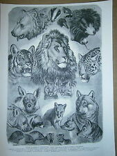 Gravure 19°  têtes d'animaux carnassiers ours blaireau hyéne chat raton laveur