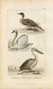ANTIQUE Natural History Print - Pintail, Swan, Pelican Birds Engraving #F4