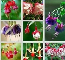 Assorted  Fuchsia seeds Lantern Flowers 100 Seeds --BUY 4 ITEMS FREE SHIPPING