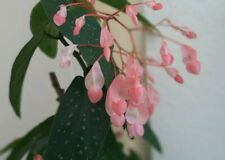 Begonia Angel Wing 40 Pelleted Seeds 2 Strains DIY Hybrid Albo-Picta 'Rosea'