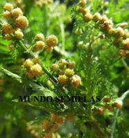 ARTEMISIA Annua  ajenjo dulce 1500 semillas - seeds bio huerto jardin medicinal