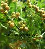 ARTEMISIA Annua  ajenjo dulce 1500 semillas frescas bio huerto jardin medicinal