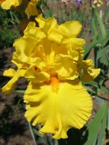 CLEARING SALE ** BEST & BRIGHTEST ** TALL BEARDED IRIS -  YELLOOW GOLD