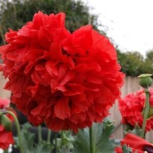 *RED RUFFLES Double PEONY POPPY * Flower Seeds * Great Display! *