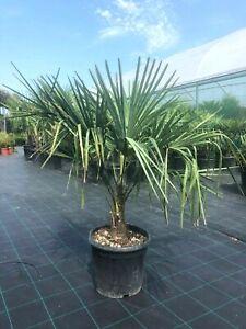 Trachycarpus fortunei (Chusan Palm Tree) 80cm excl. pot