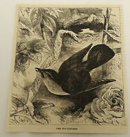 1878 magazine engraving ~ THE FLY-CATCHER