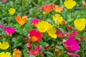 Moss Rose Seeds for Planting - 100 Seeds -