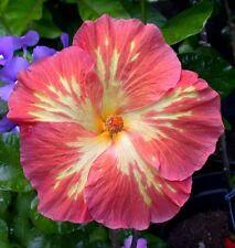 Tropical Hibiscus Seed:  M Corail x Shiva