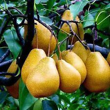 10X White Florida Pear Guava Tropical Fruit Tree Seeds Psidium guajava Edible