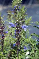 ** Aus den Blüten des DRACHENKOPF wird ein krampflösender Tee gebraut - Samen.