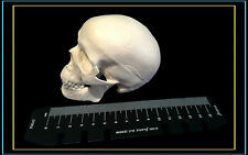 High Simulation,Good Quality Mini Size Classic Human Skull Model-UK Seller