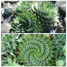 Pack of 5pcs Spiral Aloe Seeds Polyphylla Cactus Succulents Garden Park Plant