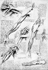 Leonardo Da Vinci Muscles of the Shoulder Region   Anatomy Poster Print Art