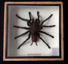 Giant huge real big Tarantula spider display taxidermy insect entomology