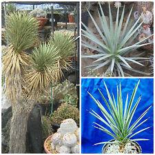 10 semi di Yucca brevifolia jaegeriana, piante succulente,seed succulents