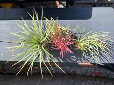 Air plants (Tillandsia) Ionantha 3x  plant mix Red,Green,Rubra