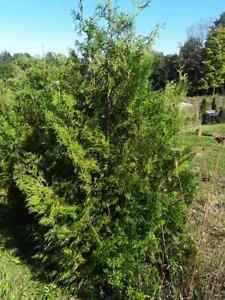 American Arborvitae Trees 6' - 10' Local Pickup