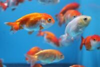 """Assorted 2"""" Red White Ranchu Goldfish- FREE SHIPPING Quantity (1)(2)(3)(5)(10)"""