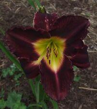 Daylily Plant Nosferatu Hanson-C Double Fan Purple Perennial Flower