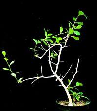 Commiphora pyracanthoides Plant # D seed grown Myrrh family Commiphora # D