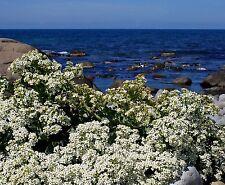 SEA KALE Crambe Maritima Unique Unusual Hardy Perennial 8 Large Seeds