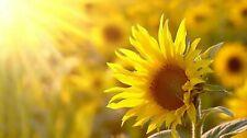 40 Graines de Tournesol - fleurs jardins potager - méthode BIO
