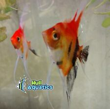 Gorgeous Classic Koi Angelfish Young - 3 Pack