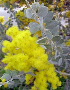 Acacia Podalyriifolia MT Morgan Wattle 10 SEEDS Native Wattle